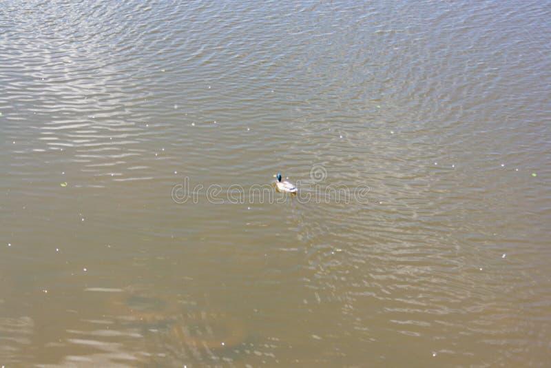 Nadada de los patos salvajes en el río fotos de archivo libres de regalías