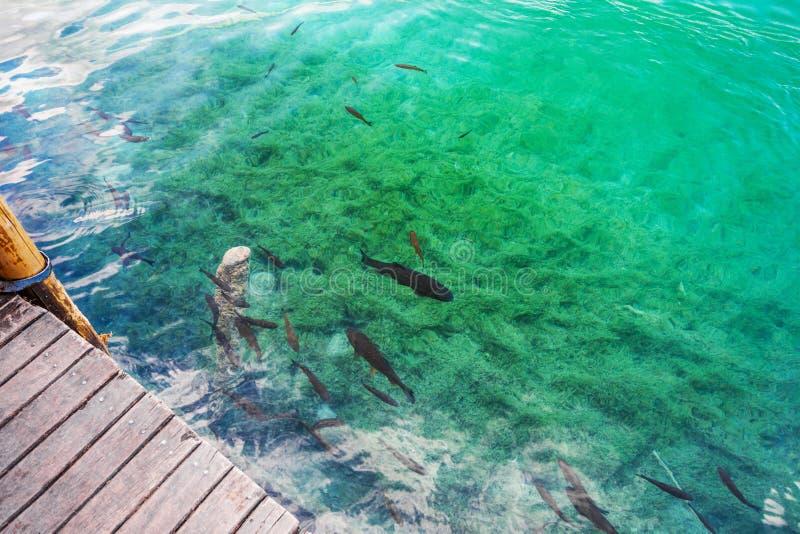Nadada de los pescados en el agua clara en el embarcadero Plitvice, parque nacional, Croacia fotografía de archivo