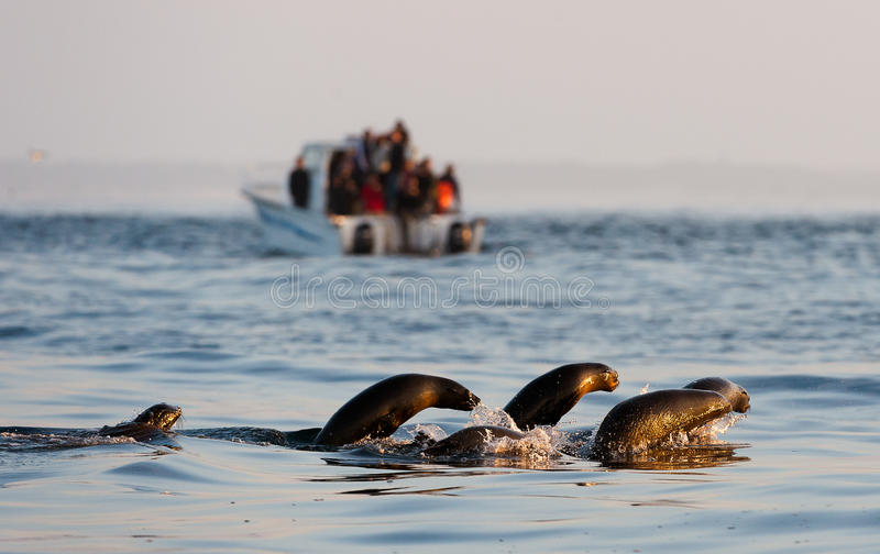 Nadada de los sellos y el saltar del agua. imágenes de archivo libres de regalías