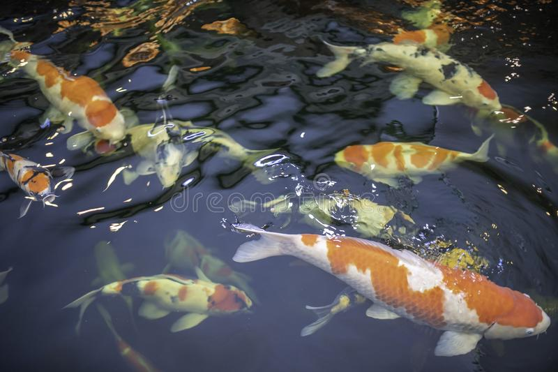 Nadada de muitos peixes do koi na lagoa foto de stock