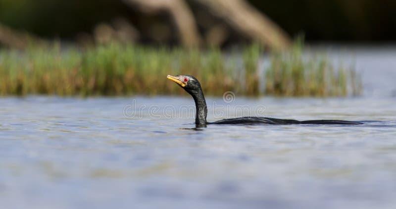 Nadada de Reed Cormorant en una charca para cazar pescados fotos de archivo libres de regalías