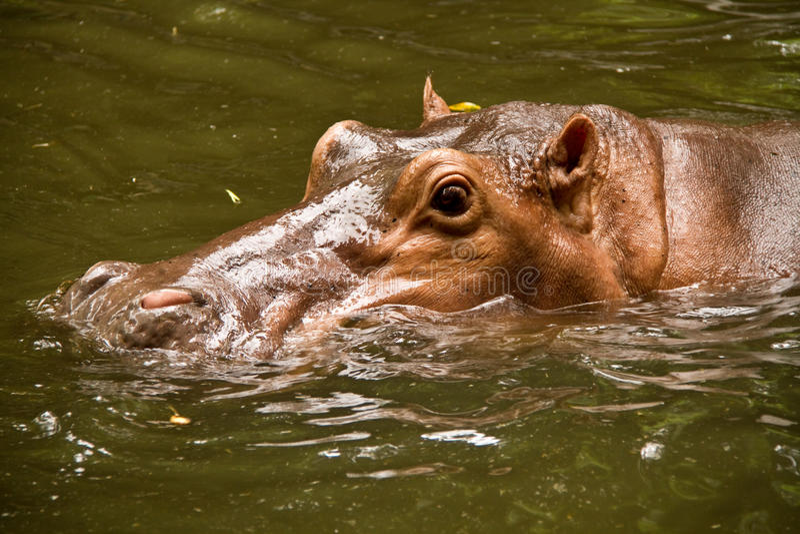 Nadada del hipopótamo en piscina imágenes de archivo libres de regalías