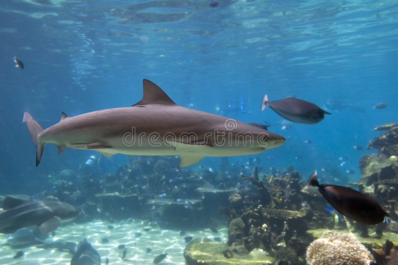 Nadada del tiburón imagen de archivo