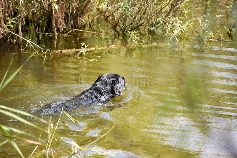 Nadada do cão de caça para recuperar um pato o do rio fotos de stock