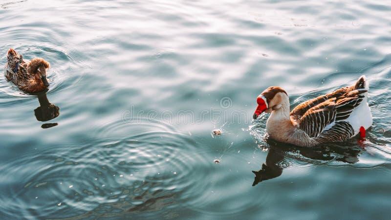 Nadada do ganso e do pato no lago fotografia de stock royalty free