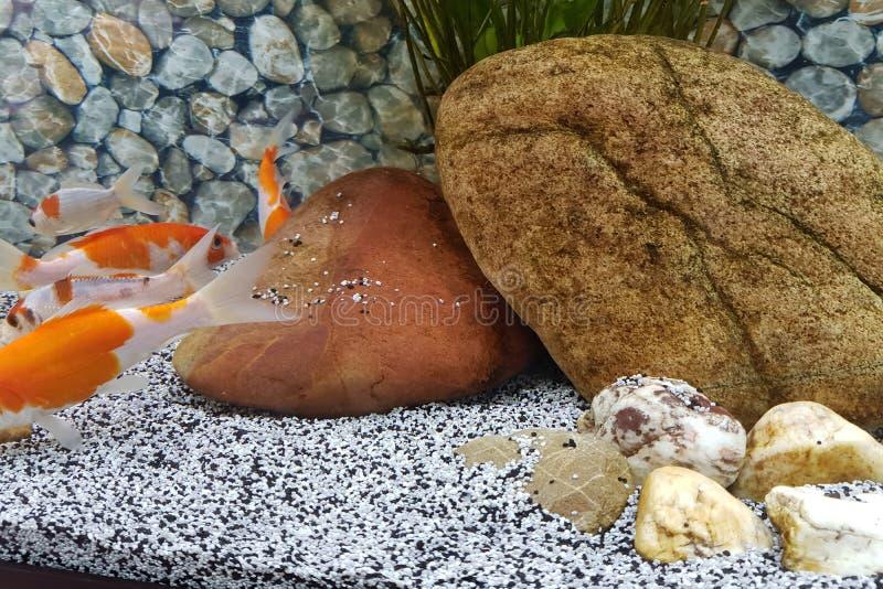Nadada do peixe dourado em um aquário bonito da casa imagem de stock royalty free