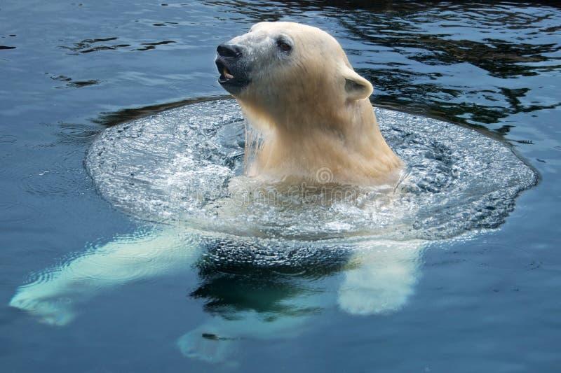Nadada do urso polar fotos de stock royalty free