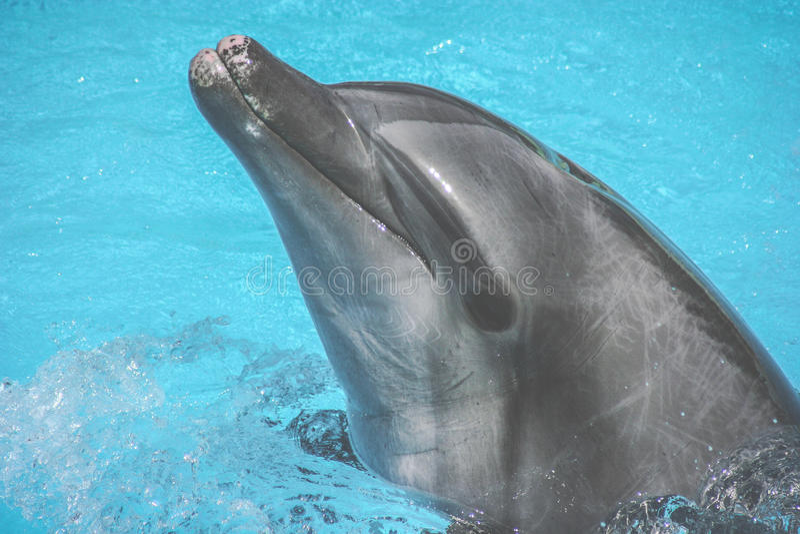 Nadada dos golfinhos na associação fotos de stock royalty free