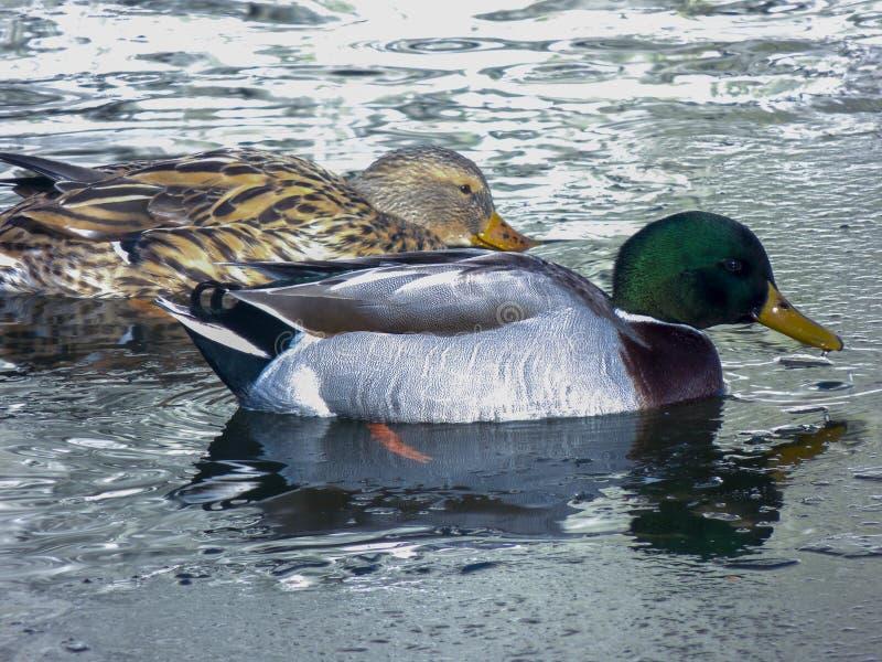 Nadada dos patos na lagoa foto de stock