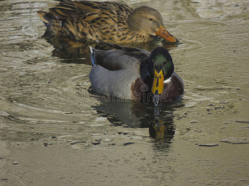 Nadada dos patos na lagoa fotografia de stock royalty free