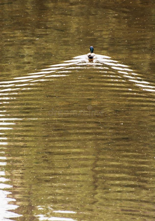 Nadada en agua ondulada, belleza del pato del pato silvestre en naturaleza foto de archivo libre de regalías