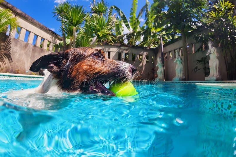Nadada engraçada do cão na associação imagens de stock