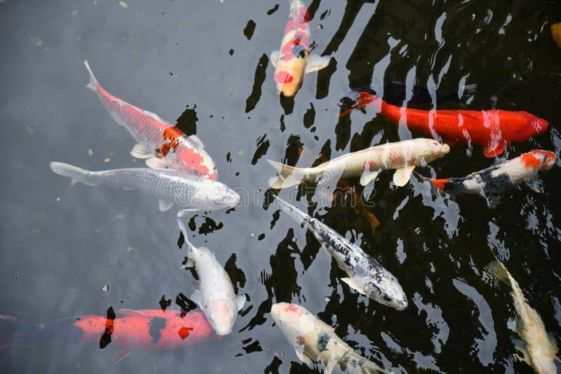 Nadada grande del koi de los pescados en agua transparente de la charca fotografía de archivo