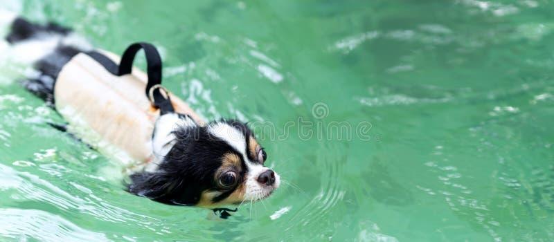 Nadada vestindo do revestimento da veste de vida do cão novo da chihuahua na piscina com para relaxar o tempo de lazer no feriado imagem de stock royalty free