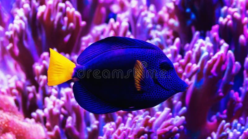 Nadadas azuis dos peixes do cirurgião entre corais fotos de stock royalty free