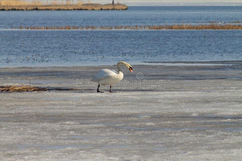 Nadadas blancas hermosas de un cisne en el lago, cubierto parcialmente con hielo en un día de primavera soleado fotos de archivo libres de regalías