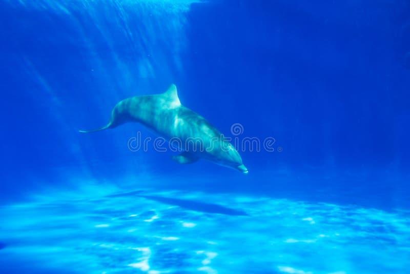Nadadas do golfinho sob a água no aquário fotografia de stock