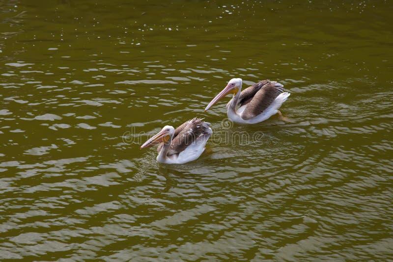 Nadadas dos pelicanos e peixes das capturas Dois pelicanos foto de stock royalty free