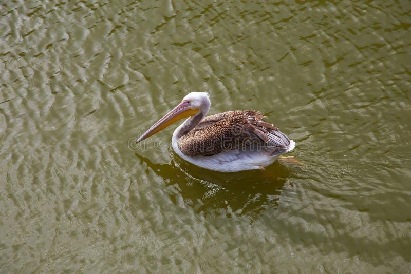 Nadadas dos pelicanos e peixes das capturas imagens de stock