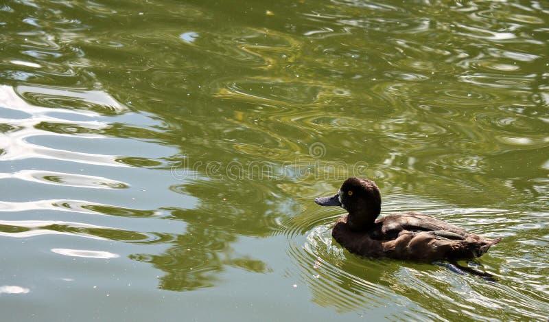 Nadadas marrons escuras do pato na lagoa de Moscou fotografia de stock royalty free