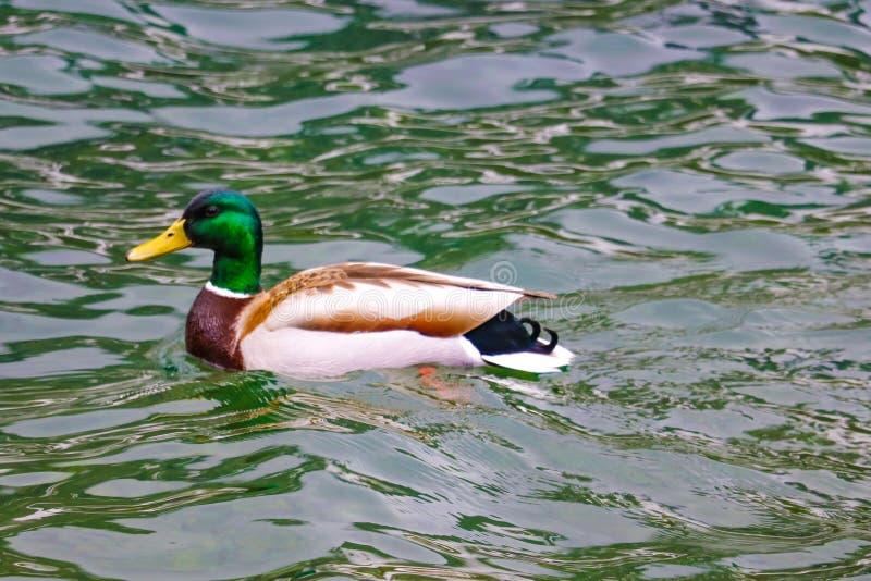 Nadadas salvajes del pato macho en la charca de la ciudad en un d?a soleado imágenes de archivo libres de regalías