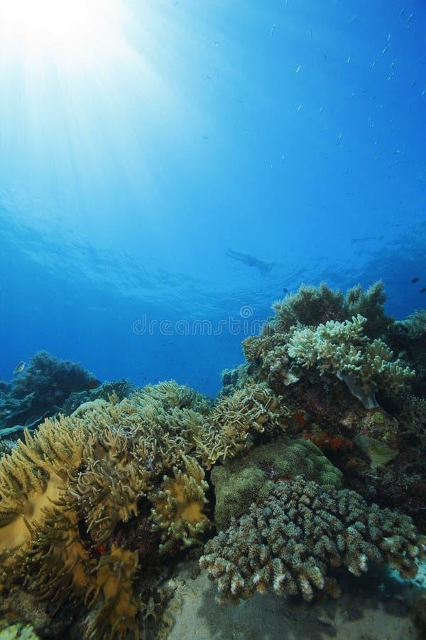 Nadar da mulher em topless acima do recife coral imagens de stock royalty free