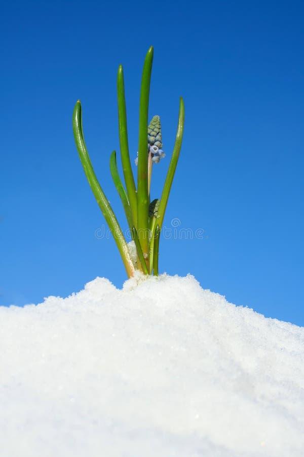 nadchodzący kwiat nadchodząca wiosna zdjęcia stock