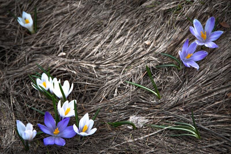 nadchodz?cej wiosny zdjęcia royalty free