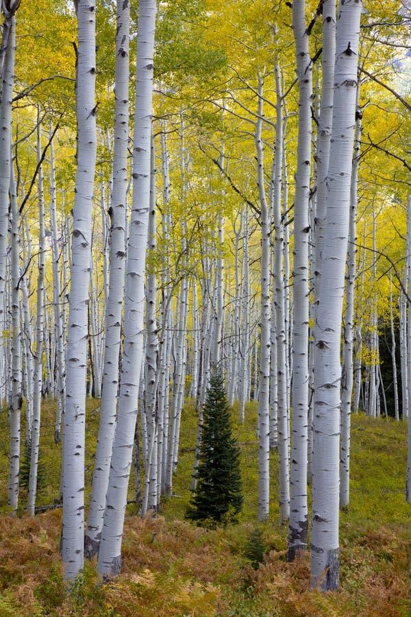 Nadelbaumbaum mitten in Aspen-Bäumen in Kebler-Durchlauf, Colorado in Autumn Fall stockfotografie