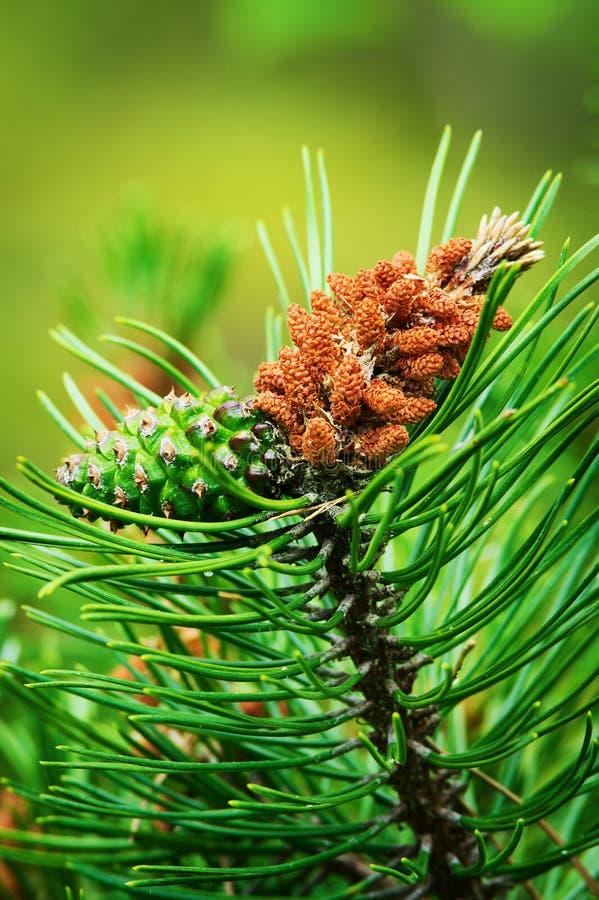 Nadelbaumkegel Schottische oder schottische Kiefer Pinus sylvestris junge männliche Blütenstaubblume und grüner weiblicher Kegel lizenzfreies stockbild