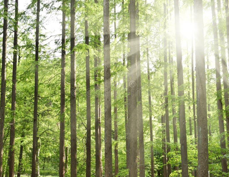 Nadelbaumwald mit Sonnenstrahl stockbild