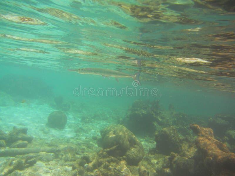Nadelfische Belonidaeschwimmen unterhalb der Wasseroberfläche über einem Korallenriff stockfoto