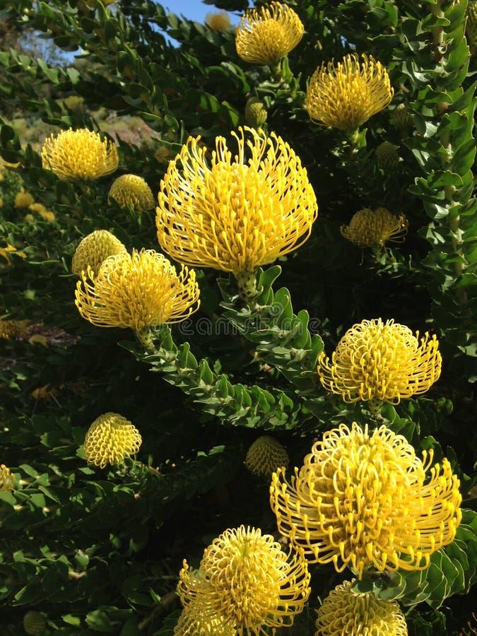 Nadelkissen Protea stockbilder