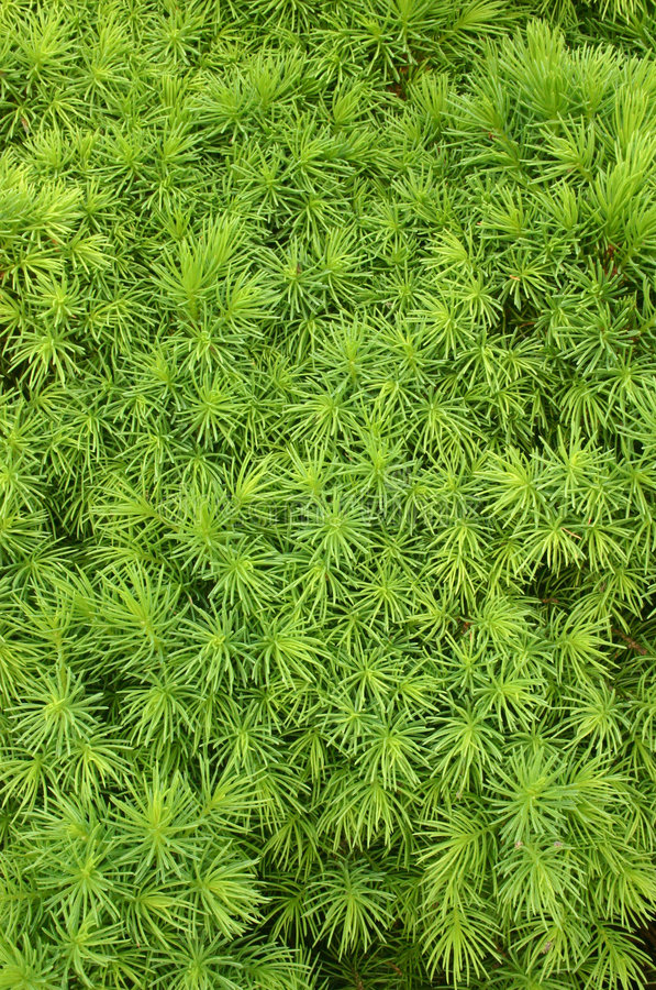 Nadeln der zwergartigen Alberta-Fichte (Picea glauca) lizenzfreie stockfotografie