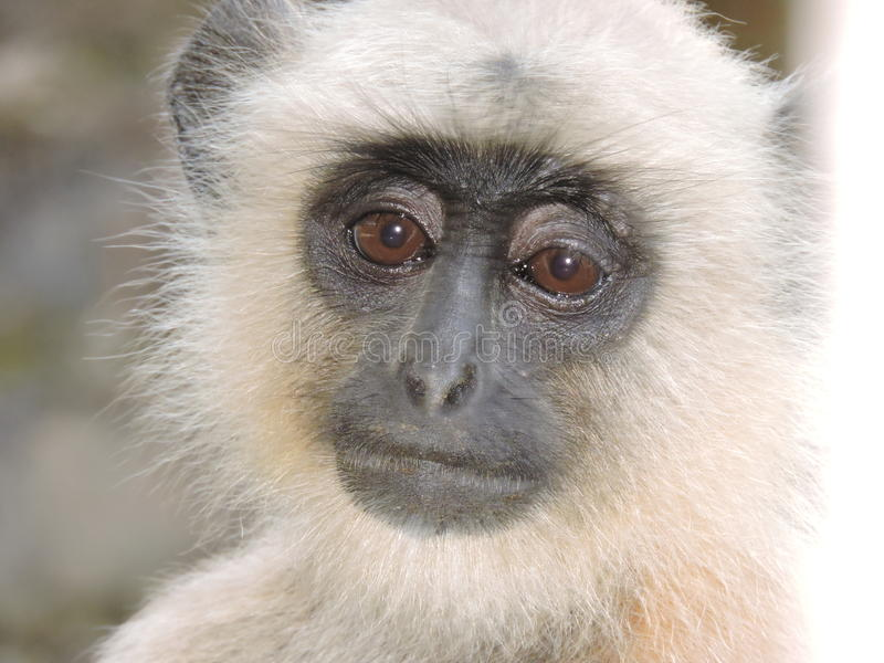 Nadenkende aap royalty-vrije stock afbeelding