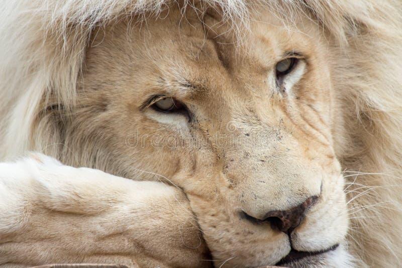 Nadenkende leeuw stock foto's