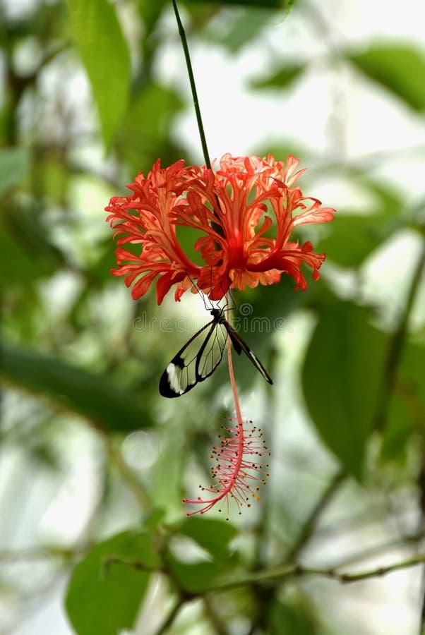 Nadokienny motyl na poślubniku Rosa, poślubnika schizopetalus fotografia royalty free