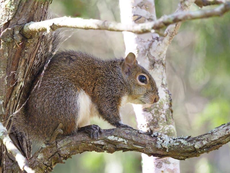 Nadruk Gestapeld Beeld van Gray Squirrel in Cedar Tree royalty-vrije stock afbeeldingen