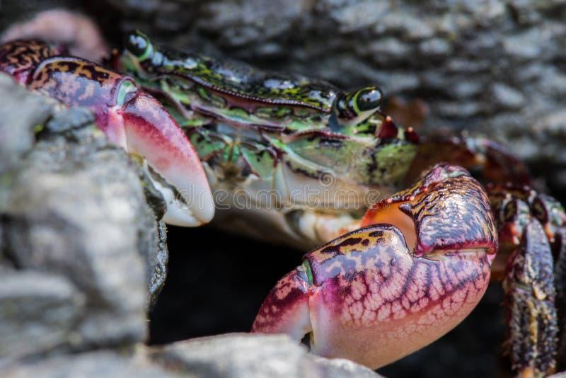 Nadruk op klauwen van groene krab stock afbeelding
