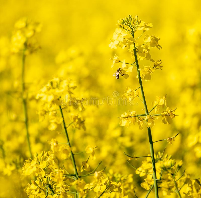 Nadruk op koolzaadgebied op een zonnige dag Sluit omhoog stock foto