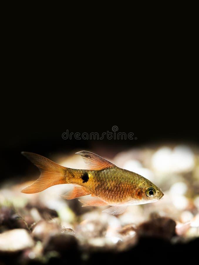Nadwodna natury wciąż życia scena z młodą longtail barbeta rybą na czarnym tle Pethia Conchonius egzota akwarium obrazy stock