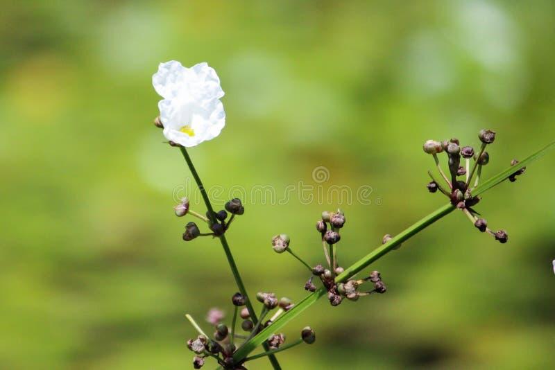 Nadwodna roślina zdjęcie stock