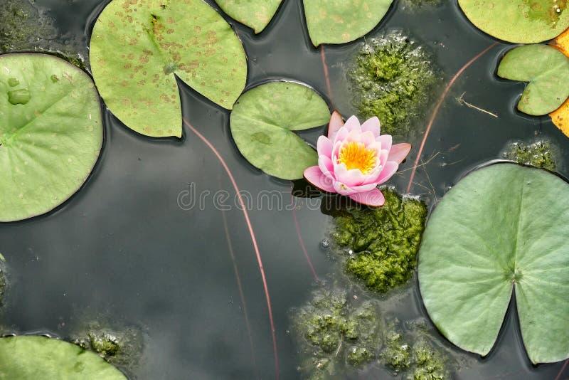 Nadwodne rośliny różowią wodnej lelui i unosić się liście zdjęcia royalty free
