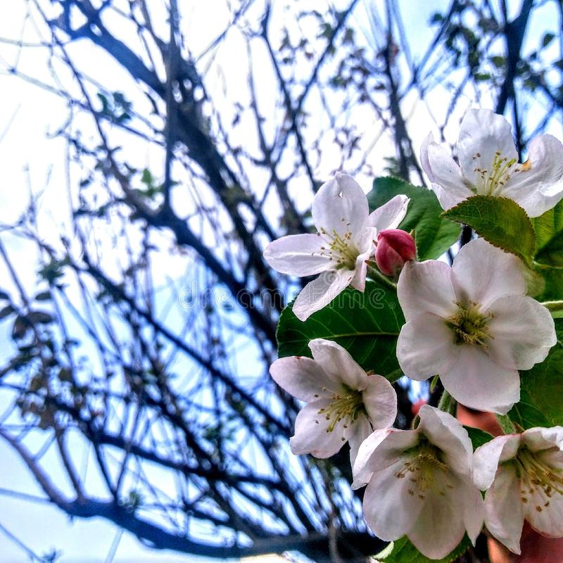 Nadziemscy jabłko kwiaty obraz stock