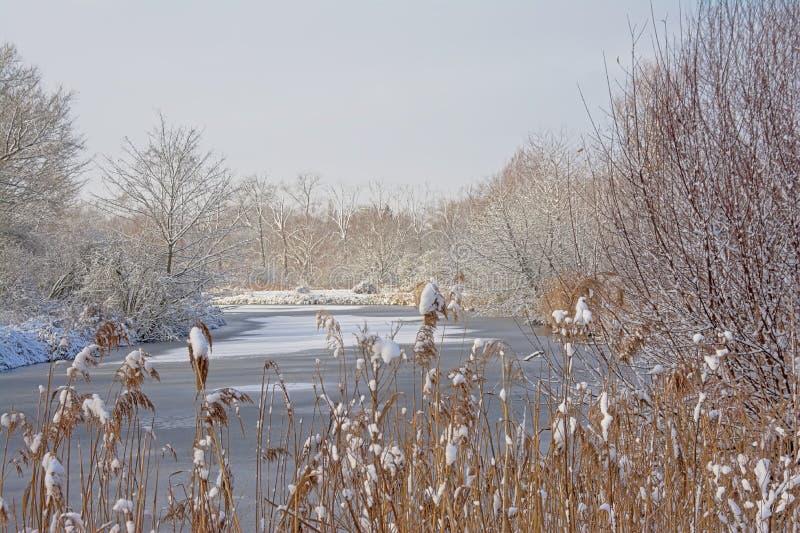 Nadzy drzewa i trzcinowi pióropusze zakrywający w śniegu wokoło zamarzniętej zatoczki obraz royalty free
