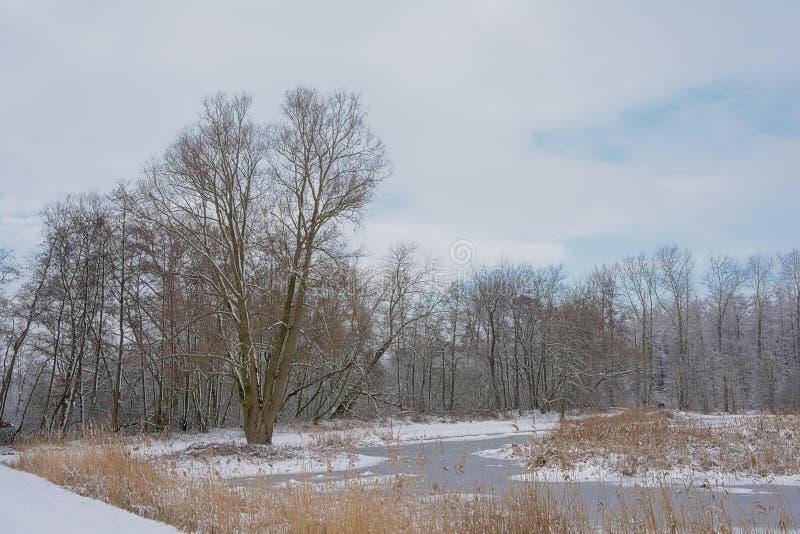 Nadzy drzewa i trzcinowi pióropusze zakrywający w śniegu wokoło zamarzniętej zatoczki zdjęcie royalty free