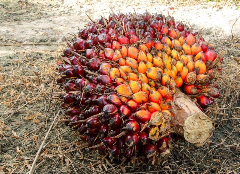 Download Nafcianej Palmy Owoc Wiązki Zdjęcie Stock - Obraz złożonej z surowy, olej: 57650366