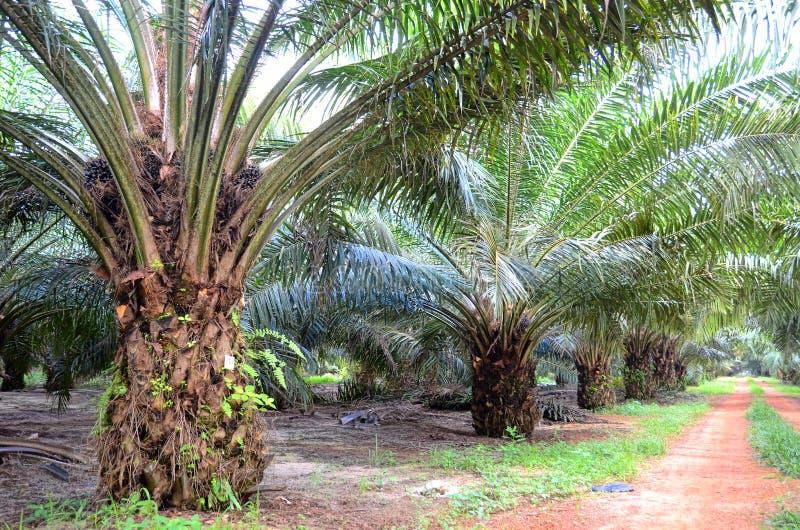 Nafcianej palmy plantacja obraz stock