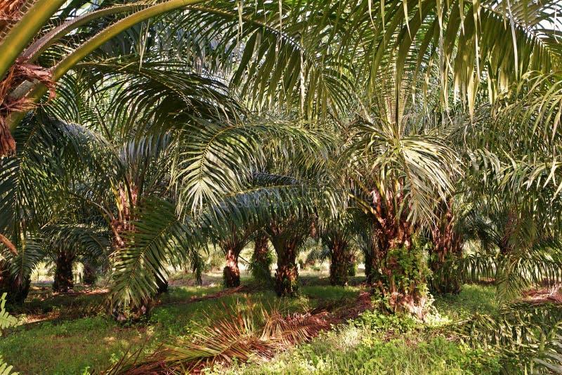 Nafcianej palmy plantacja, młoda nafciana palma odchwaszcza warunek zdjęcie royalty free