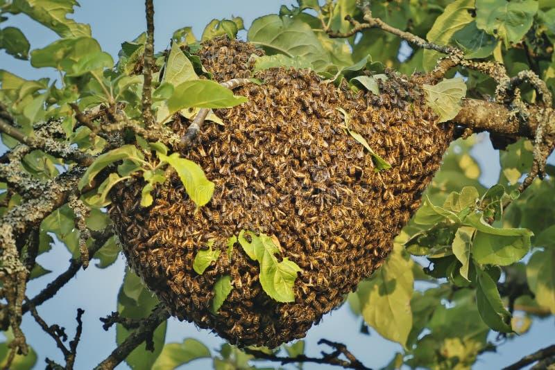 A a nagé des abeilles de miel attachées à une branche d'arbre photo libre de droits
